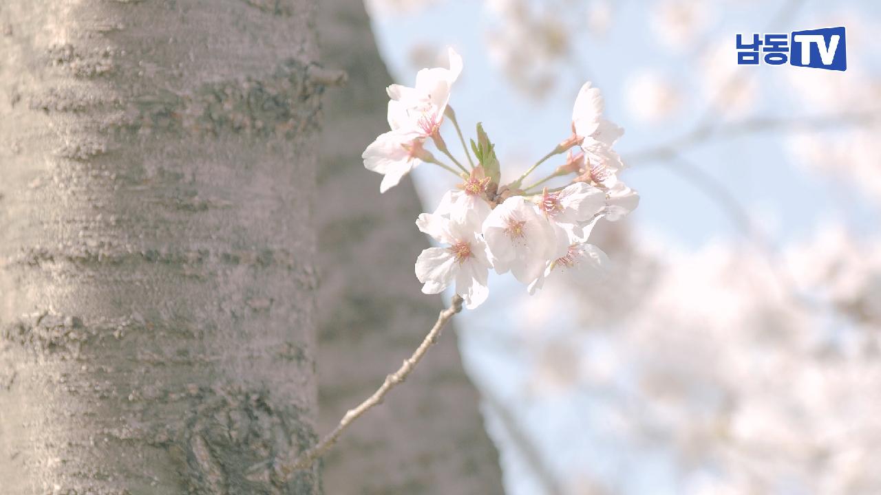 온라인 꽃놀이 인천 남동구 장수천 벚꽃가득한 길의 썸네일